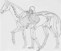 Horse - Human and horse skeletons
